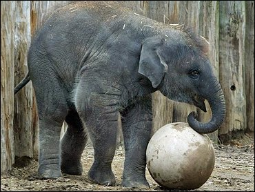 The global population of Asian elephants, like this one at the National Zoo in Washington, D.C., is estimated to total 35,000-50,000.