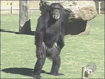 Marlboro..Chimp