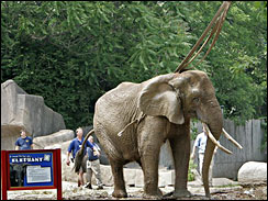 Lucy, an African elephant, stands on her feet at the Milwaukee County Zoo after she was lifted by a crane, in this June 16, 2006, file photo. She was euthanized on Sept. 1 after staffers found her lying on the floor in her stall.