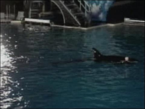 Killer Whale Attacks Trainer