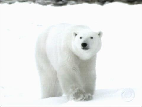 Polar Bears Roam Free