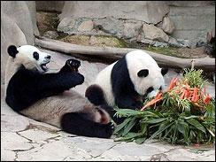 Panda © AP Photo/Wichai Traprew