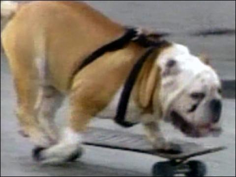 Dog Is Skateboarding Sensation