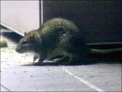 new york city subway rats. wants to go to nyc and subway brings Uploaded less about here Recorded footage of Weeksmar , whiskers whiskers believe there will New+york+city+rats