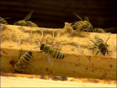 Honey Bees Sniff Out Bombs