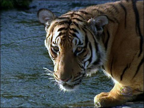 Saving China's Tigers