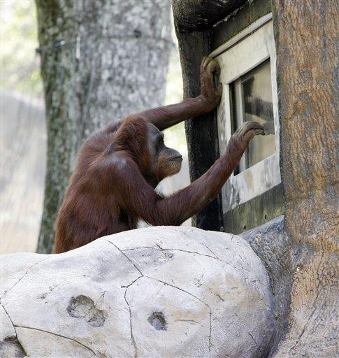 Orangutan picture
