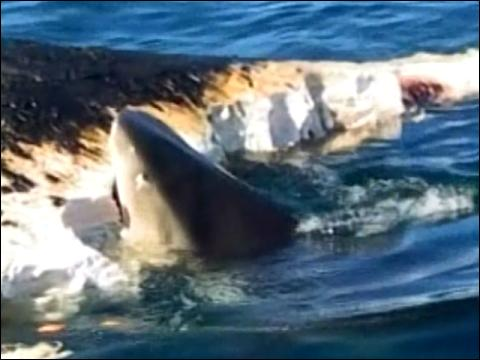 Sharks Feast On Whale Carcass