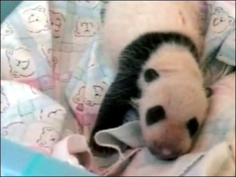 Panda's Birth Breaks Records