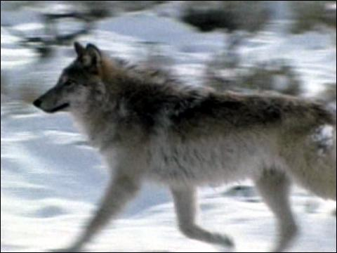 Yellowstone Wolves Controversy