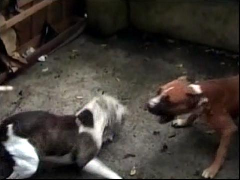pitbull fights caught on video