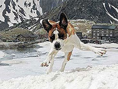 Lucky Dog: A dog plays in the snow on the Great St. Bernard Pass between Switzerland and Italy, June 9, 2008.