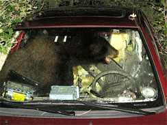 This image provided by Ben Story shows a bear inside Story's car early morning July 23, 2010, in Larkspur, Colo.