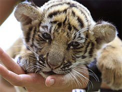Thai veterinarian Phimchanok Srongmongkul holds a baby tiger cub after feeding at the Wildlife Health Unit at the Department of National Parks in Bangkok Thailand on Friday, Aug. 27, 2010. Thai authorities found the baby tiger cub that had been drugged and hidden among stuffed toy tigers in a woman's suitcase.